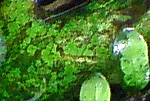 how to grow java fern fast